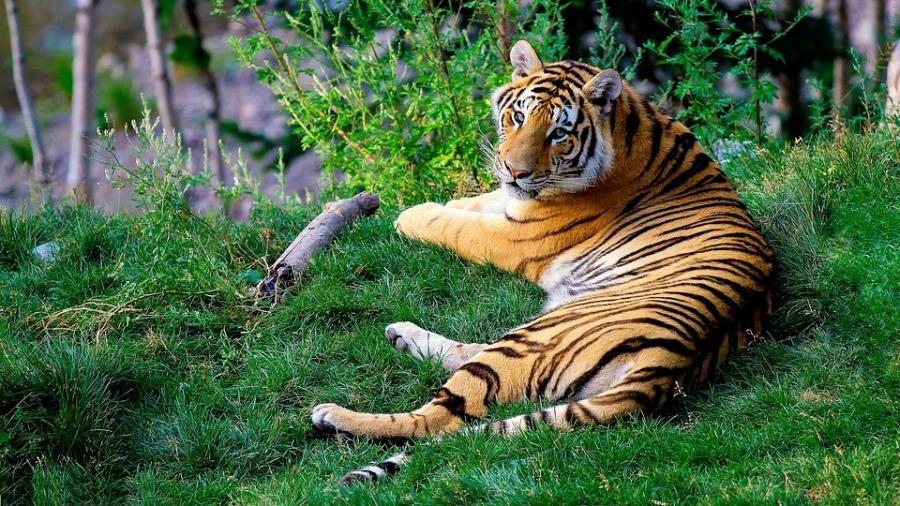 bengal-tiger-1149535_960_720pixabay